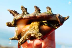 Queen Conch Snail by Vusiuz