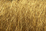real texture _golden grass 03 by Aimelle-Stock