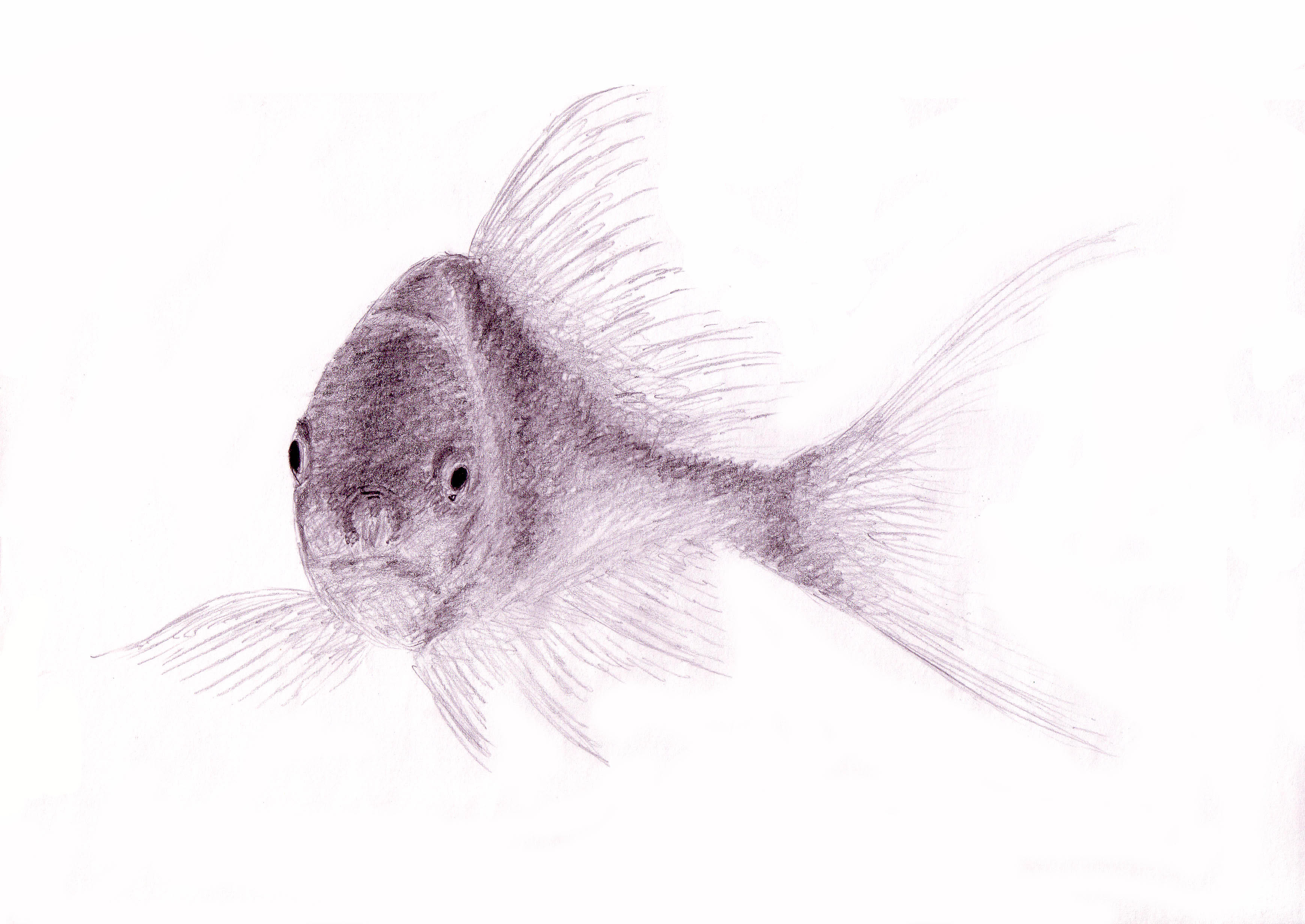 fish drawing in pencil easy