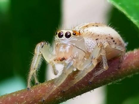 Translucent Spider