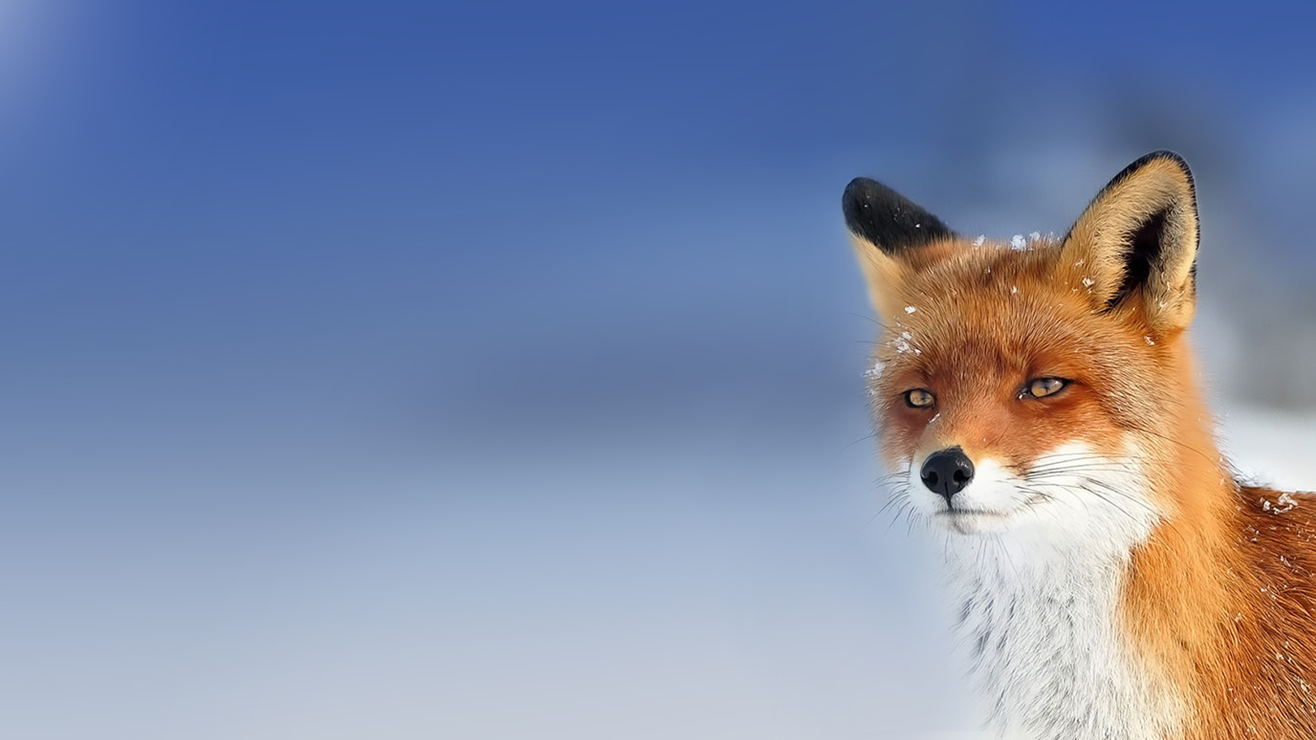 wallpaper fox resize 2560x1440 by povcam on deviantart