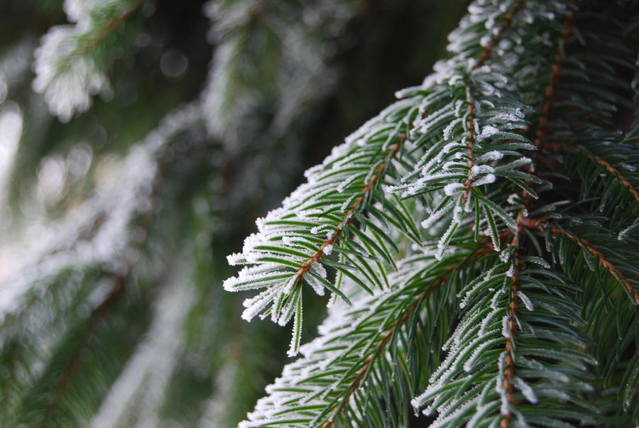 White on the Evergreen