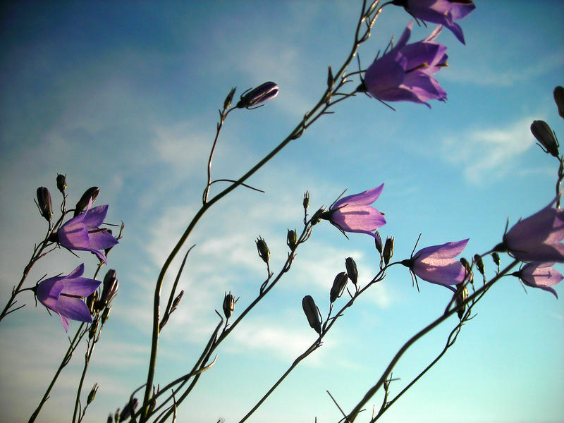 Purple Flowers, Blue Sky by hoogathy