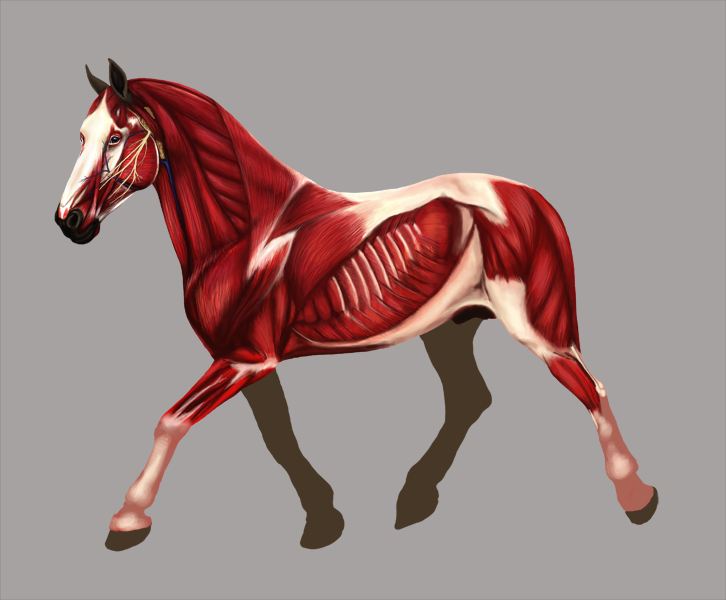 Horse Muscle Anatomy WIP:. by roesoftheshadows on DeviantArt