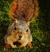 Squirrel, Face to Face by lundyleng