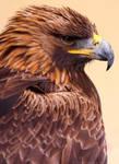 Regal Golden Eagle