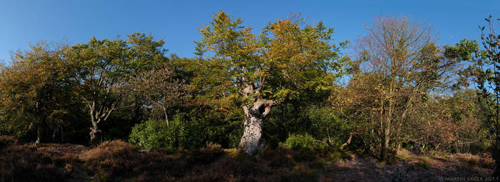 Burnham Beeches Autumn Pano