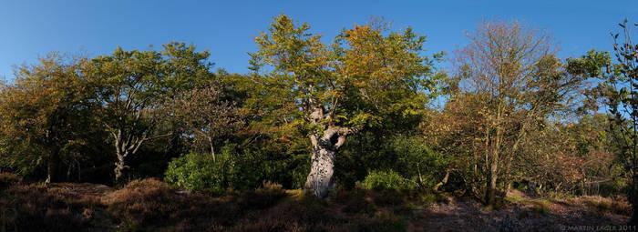 Burnham Beeches Autumn Pano