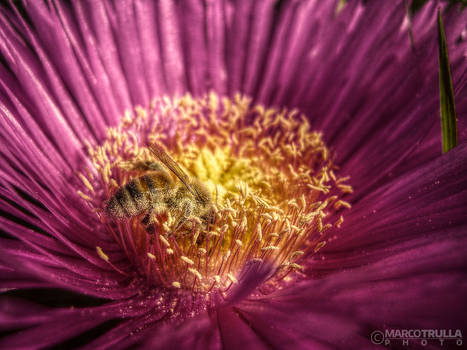 Carpobrotus Edulis and Bee