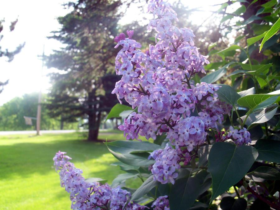 Lavender Flowers by xsoulstar