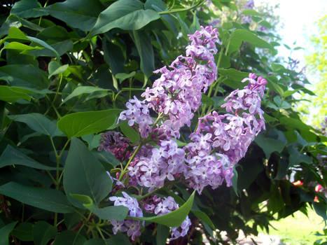 Lavender Flowers 2
