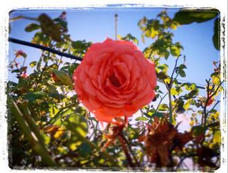 Just Around The Rose Bush