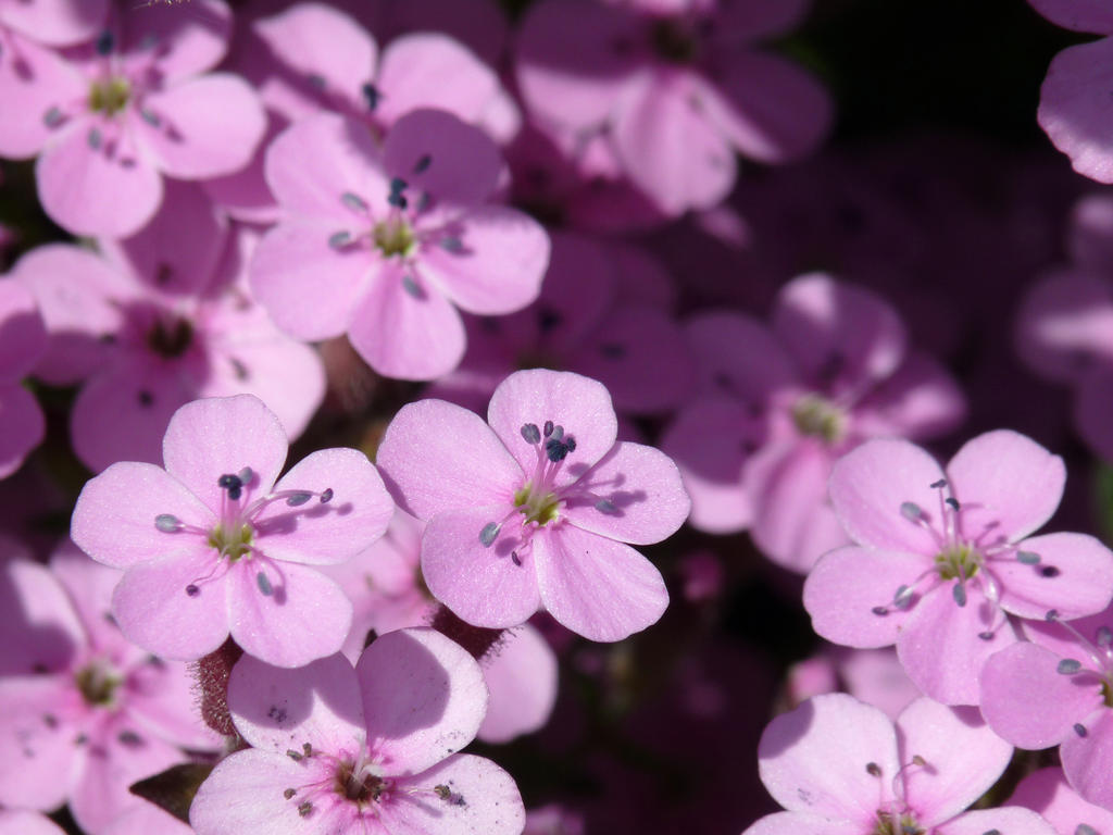Little pink flowers 2 by Mad Popietro on DeviantArt
