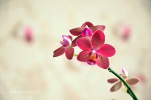 Orchidea II by Mad-Popietro