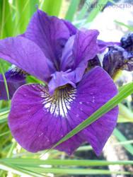 Brilliant Purple Iris