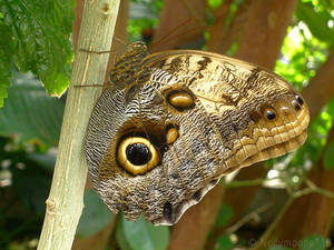 Owl-Eye Butterfly At the Zoo