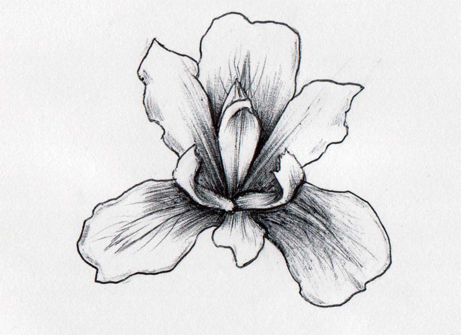Line Drawing Of Iris Flower : Iris flower by xantheunwinart on deviantart