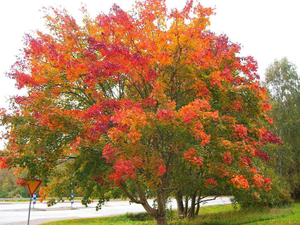 Acer platanoides in autumn by belazikkal on deviantart - Arce platanoide ...