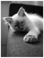 Kasper 6, ragdoll kitten by ejkej0046