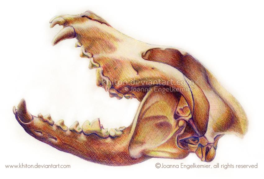 Wolf Skull Anatomy