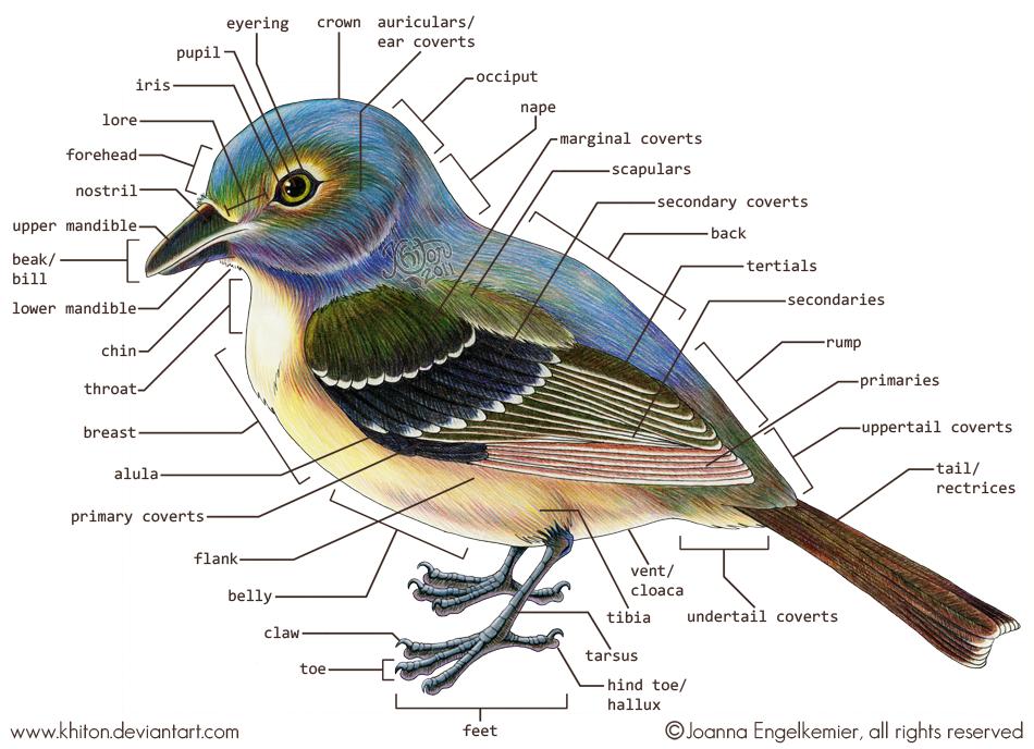 Bird reproductive anatomy