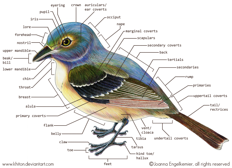bird - external anatomy by khiton
