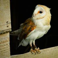 2014 - Barn owl I