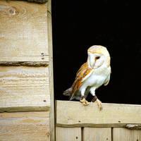 2014 - Barn owl II