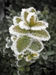 Winter jewel