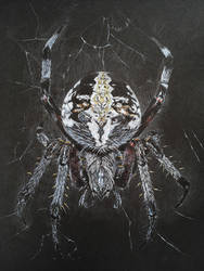 Cross Orbweaver Spider (Araneus diadematus) by AngelaMende