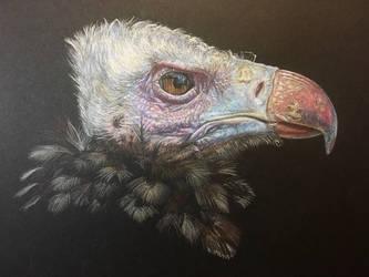 Wool Head Vulture  by AngelaMende