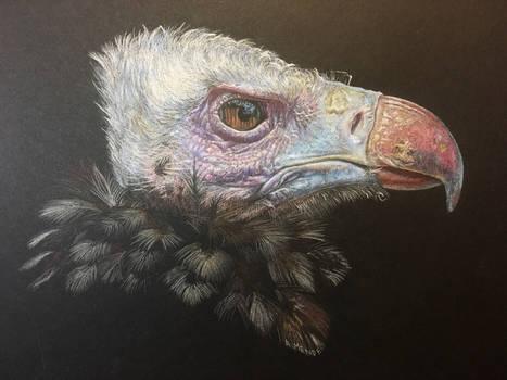 Wool Head Vulture
