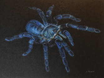 Cobalt Blue Tarantula (Haplopelma Lividium) by AngelaMende