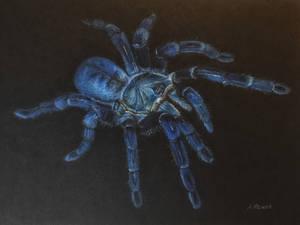 Cobalt Blue Tarantula (Haplopelma Lividium)
