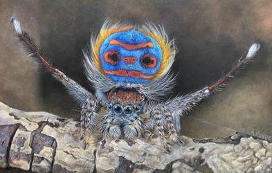 Coastal Peacock Spider (Maratus Speciosus)