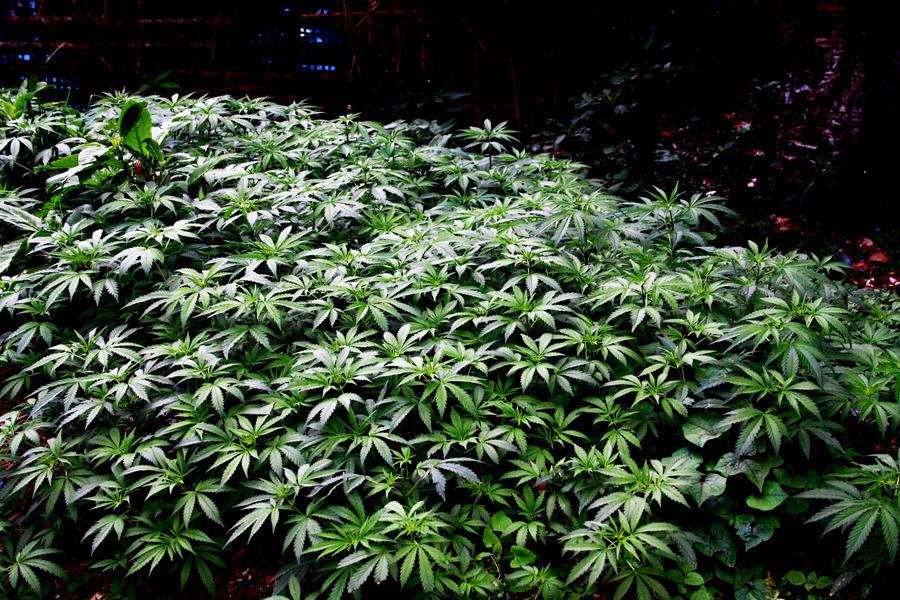 Garden of weed by sNiK7 on DeviantArt