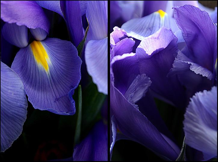 purple cush