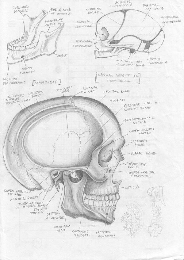 Skull anatomy study by FATRATKING