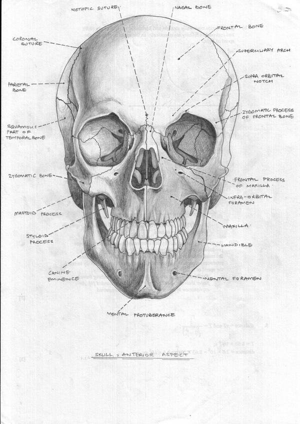 Skull Anterior Aspect by FATRATKING on DeviantArt