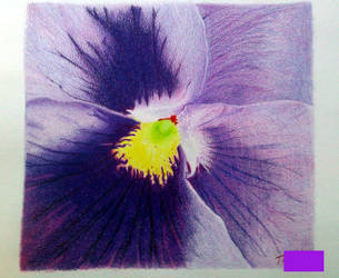 Pansy Upclose cp by MorgaineA