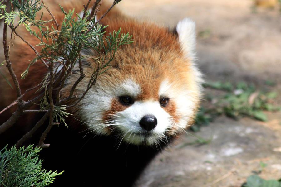 Red Panda by XxQuothTheRavenxX