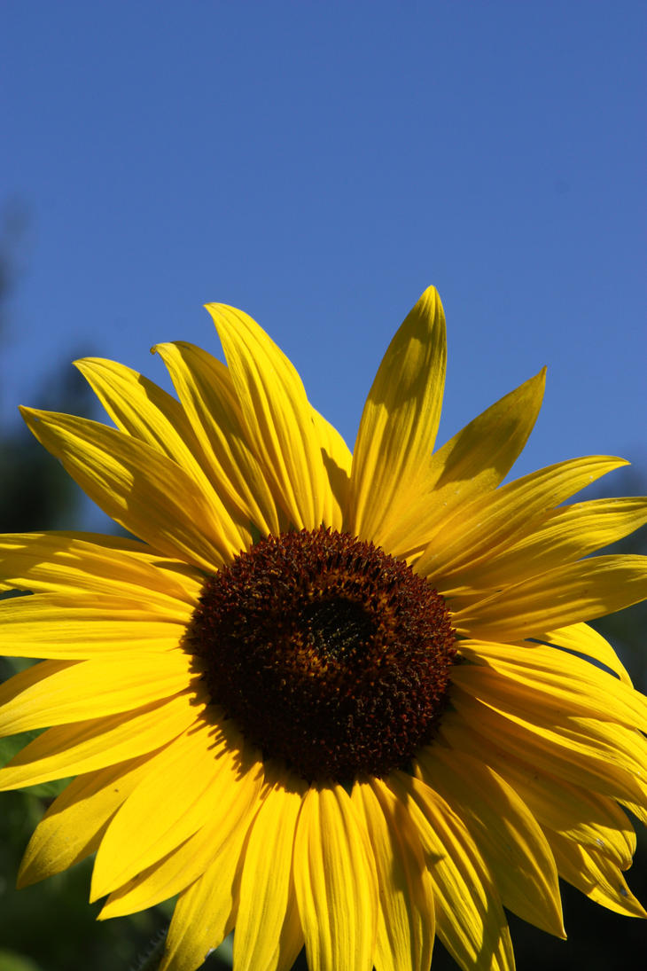Sunflower Blue by XxQuothTheRavenxX