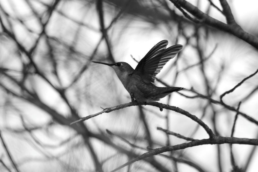 Hummingbird Wings Spread by XxQuothTheRavenxX