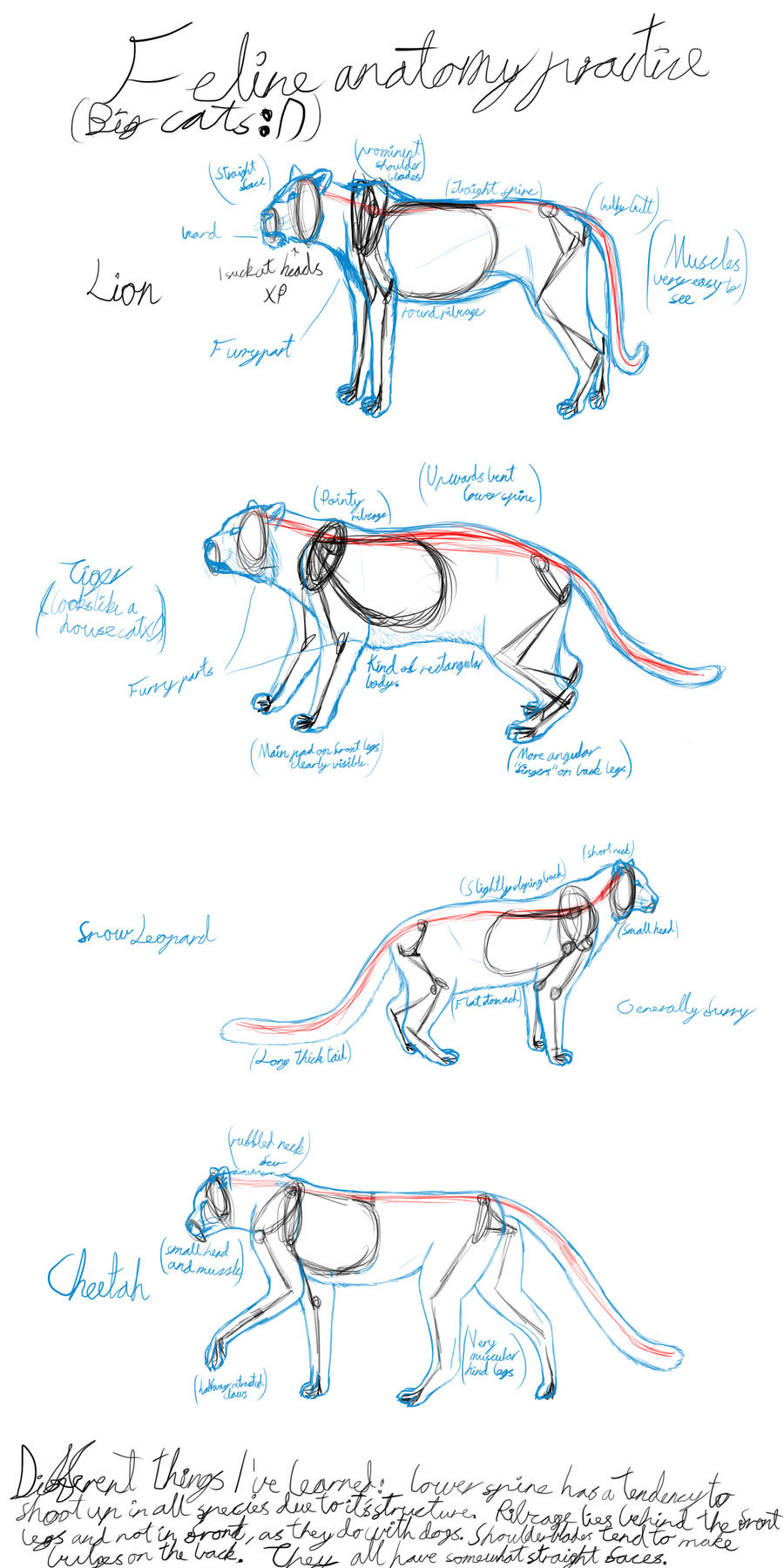 Big cat anatomy practice by Dragongryph on DeviantArt