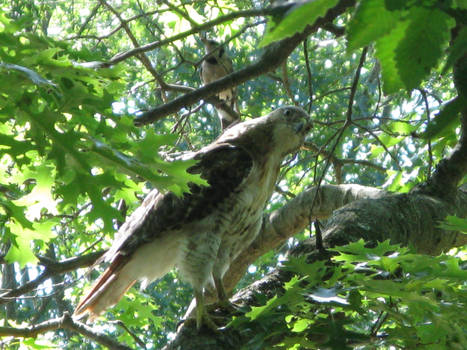 red tailed hawk on the 4th
