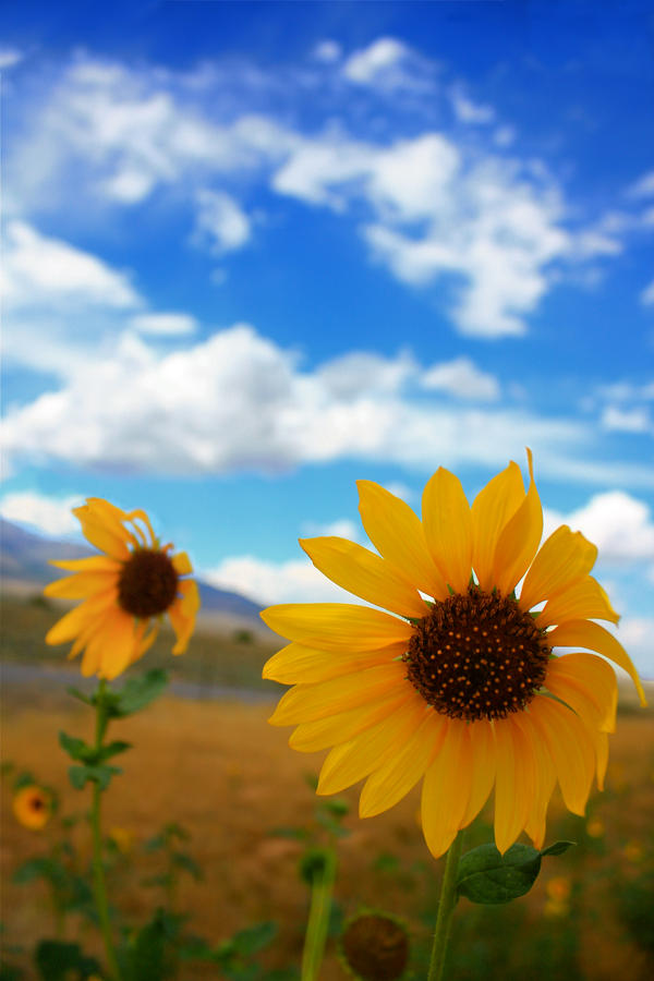 Simple Beauty of Sunflowers by jakeh13
