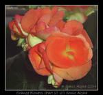 Orange Flowers II