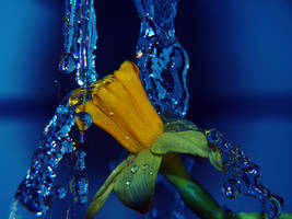 Daffodil and Water