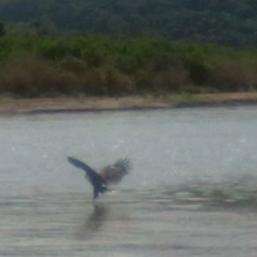 fish eagle catching a fish by ladycharmander