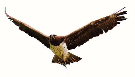 Martial Eagle by MelissaLanders